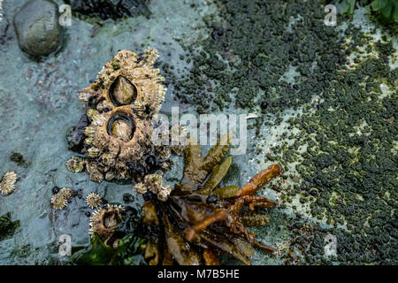 Two barnacles stock on a rock, British-Colombia, Canada - Stock Photo
