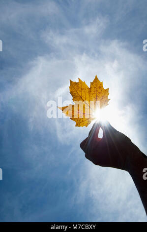 Close-up of a person's hand holding a maple leaf - Stock Photo