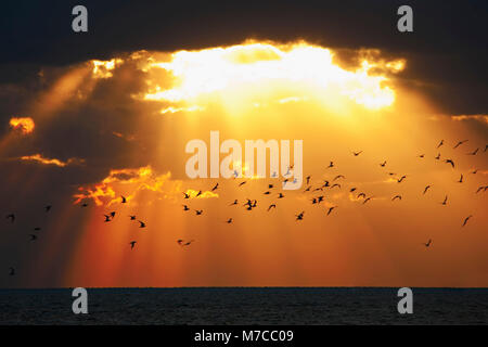Flock of birds flying over the ocean at sunset, Key West, Florida, USA - Stock Photo
