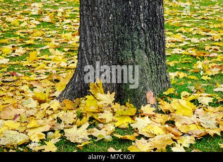 Autumn scenery with huge tree and yellow leaves on the grass at the park in Europe. - Stock Photo