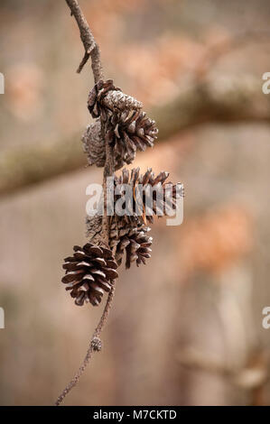 A small group of pinecones hang from a bare branch as Winter fades and Spring approaches. - Stock Photo