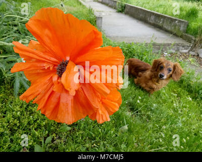 Opium flower. Poppy plant. Big red poppy flower. Opium plant and dog. Opium poppies. No post process, no sharpen. - Stock Photo