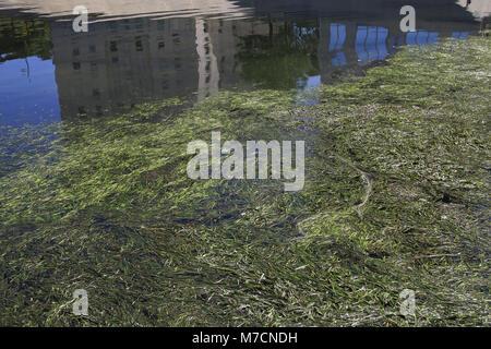 Nettoyage du Lez. Hôtel de Région. Détail algues. Montpellier.  F 34 - Stock Photo