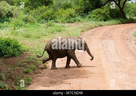 Baby elephant walking across a dusty track in Lake Manyara National Park, Tanzania in May. - Stock Photo