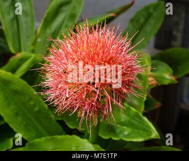 Red plant flower  amaryllisgew (Haemanthus)