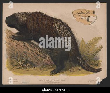 North American porcupine - Erethizon dorsatus - E.K. LCCN2017660737 - Stock Photo