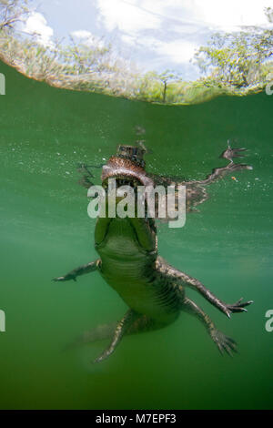 Morelets Crocodile, Crocodylus moreletii, Cancun, Yucatan, Mexico - Stock Photo