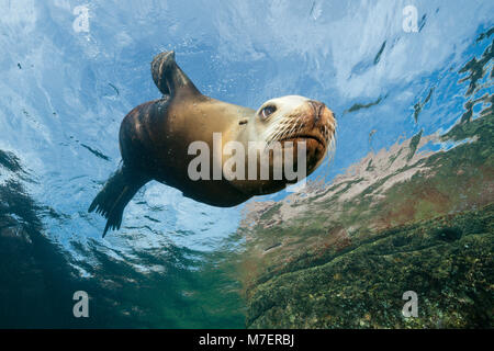 Female California Sea Lion, Zalophus californianus, La Paz, Baja California Sur, Mexico - Stock Photo