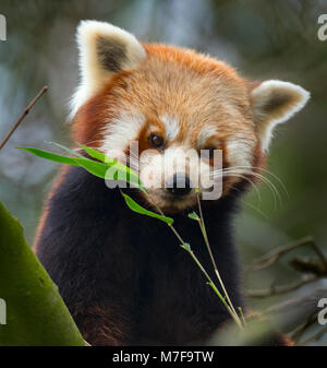 Red panda Ailurus fulgens - Stock Photo