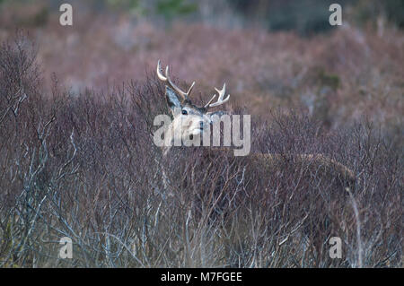 Male Red Deer photographed in the the 'Great Glen' of Glencoe on the afternoon of the 9th of March 2018 - Stock Photo
