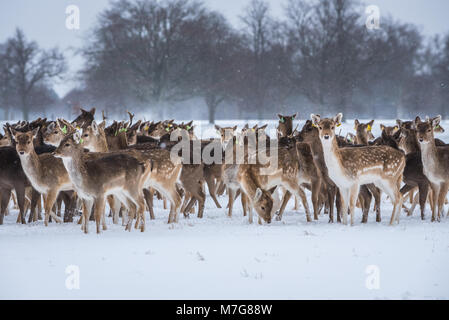 Deers at Phoenix Park in Dublin - Ireland - Stock Photo