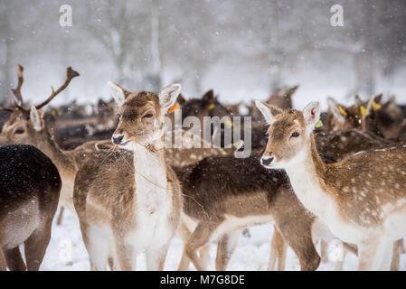 Deers at Phoenix Park in Dublin - Ireland - Stock Photo