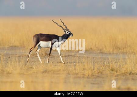 A fine adult male Blackbuck (Antilope cervicapra) at Tal Chhapar Sanctuary in Rajasthan, India - Stock Photo