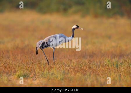 An adult Common or Eurasian Crane (Grus grus) walking across the grassland of the Little Rann of Kutch, Gujarat, India in golden evening light
