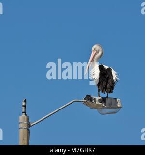 Australian pelican, Pelecanus conspicillatus, standing on top of a street light with a plain blue sky as background. - Stock Photo
