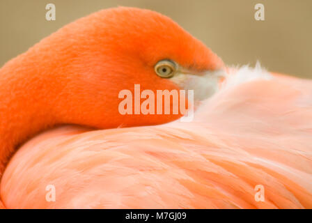 Caribbean flamingo (Phoenicopterus ruber), San Diego Zoo, Balboa Park, San Diego, California - Stock Photo