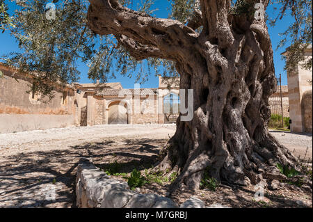 Chiaramonte Gulfi, Sicily, Italy. An ancient olive tree in the courtyard at Villa Fegotto (used as a location for - Stock Photo