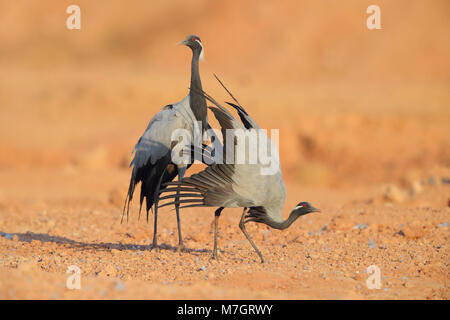 An adult Demoiselle Crane (Grus virgo) displaying at the traditional site of Khichan, Rajasthan, India - Stock Photo