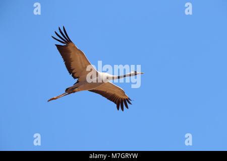 Adult Common Crane (Grus grus) in flight near Bikaner in Rajasthan, India - Stock Photo