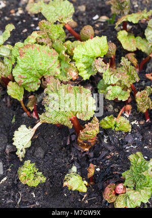 Rheum. Rhubarb beginning to shoot outdoors in late winter. - Stock Photo