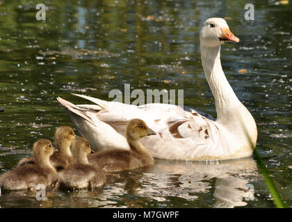 Emden Goose (Anser anser) swimming with goslings - Stock Photo