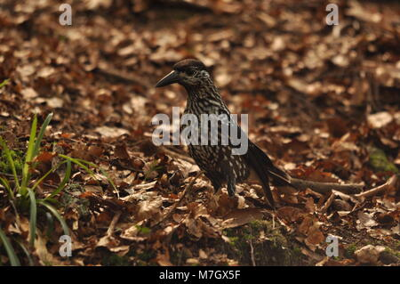 Spotted Nutcracker (Nucifraga caryocatactes). Taken at Triberg Waterfalls, The Black Forest, Germany. - Stock Photo