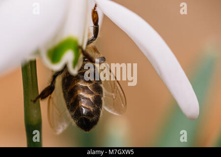 Small common snowdrop flower in early spring with bee inside. Water drop on a white petals. Detailed macro shot. - Stock Photo