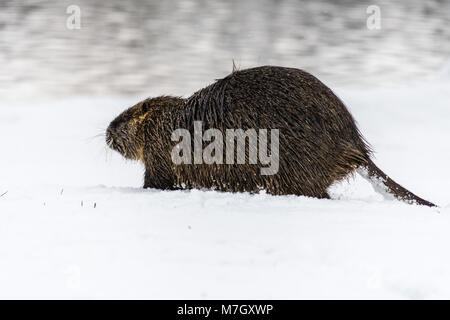 Wild coypu in the nature on the snow. Winter, cold weather, snow and frost. Also known as myocastor coypus or nutria. - Stock Photo