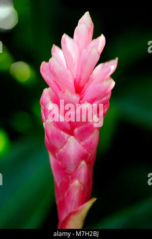 The brightly colored red bracts on Alpinia purpurata, or red ginger, look like the bloom, but the true flower is - Stock Photo