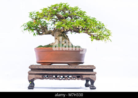 Green old bonsai tree isolated on white background in a pot plant in the shape of the stem is shaped artisans create - Stock Photo
