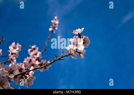 Isolated twig of pink apple blossom - Stock Photo