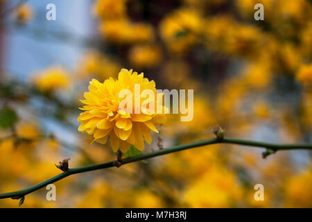 A twig of kerria japonica in bloom; yellow spring - Stock Photo