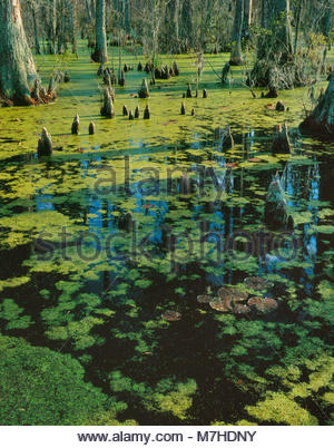 Cypress Garden, Bald Cypress, Taxodium distichum, Francis Marion National Forest, South Carolina - Stock Photo