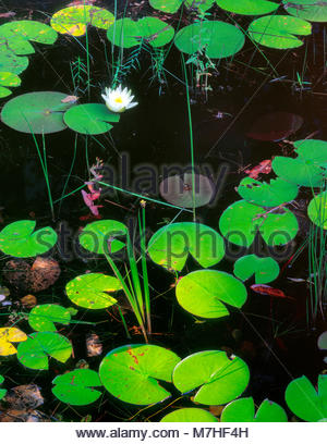 Lily Pads, Hellhole Swamp, Hellhole Bay Wilderness, Francis Marion National Forest, South Carolina - Stock Photo