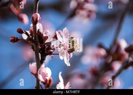 Bee worker  on a pink flower of Prunus cerasifera pissardii - Stock Photo