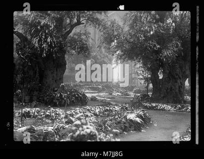 Garden of Gethsemane in snow, taken Feb. 28, 1938 LOC matpc.17115 - Stock Photo