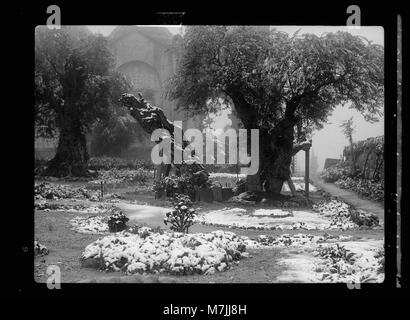 Garden of Gethsemane in snow, taken Feb. 28, 1938 LOC matpc.17116 - Stock Photo