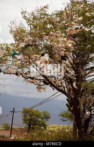 A tree filled with plastic bags, down wind from a landfill site on the island of Maui, Hawaii.  A state wide ban - Stock Photo