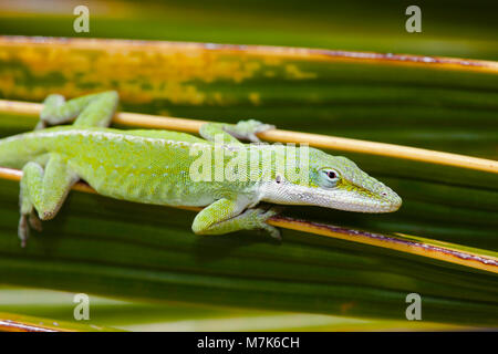 The green anole lizard, Anolis carolinensis porcatus, pictured here on a palm frond, is a native of Cuba and was - Stock Photo
