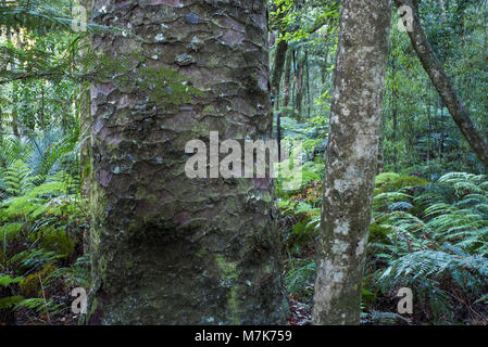 Rain forest where Kauri trees are surrounded by  trees, ferns and mosses dependent on them. The bark on this tree - Stock Photo