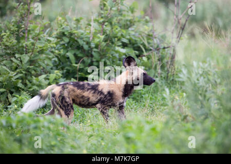 African Hunting Dog, African Wild Dog, or Painted Dogs (Lycaon pictus). One of a pack positioning themselves ready - Stock Photo