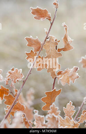 Common Oak (Quercus robur) leaves coated in frost, Letchmire Pastures, Allerton Bywater, West Yorkshire, England, - Stock Photo