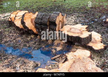 Tree felled and trunk chopped into slices of logs piled on the ground - Stock Photo