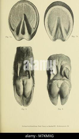 Beiträge zur vergleichenden Morphologie des Unpaarzeher- und Paarzeher-Fusses (1895) (20174486698) - Stock Photo
