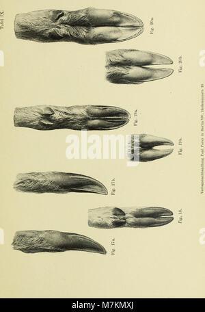 Beiträge zur vergleichenden Morphologie des Unpaarzeher- und Paarzeher-Fusses (1895) (20354010042) - Stock Photo