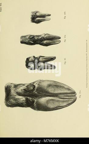 Beiträge zur vergleichenden Morphologie des Unpaarzeher- und Paarzeher-Fusses (1895) (20362504055) - Stock Photo