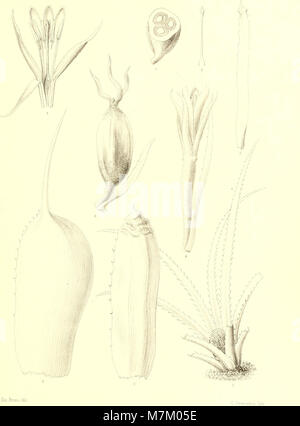 Bromeliaceae andreanae - description et histoire des broméliacées récoltées dans la Colombie, l'Ecuador et le Venezuela (1889) (19796544294) Stock Photo