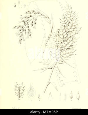 Bromeliaceae andreanae - description et histoire des broméliacées récoltées dans la Colombie, l'Ecuador et le Venezuela (1889) (19798241313) Stock Photo