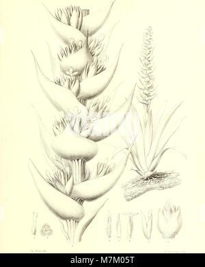 Bromeliaceae andreanae - description et histoire des broméliacées récoltées dans la Colombie, l'Ecuador et le Venezuela (1889) (20231187790) Stock Photo