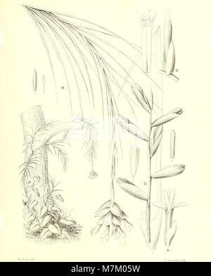Bromeliaceae andreanae - description et histoire des broméliacées récoltées dans la Colombie, l'Ecuador et le Venezuela (1889) (20231225858) Stock Photo